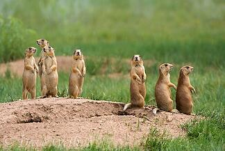 body_prairiedogs
