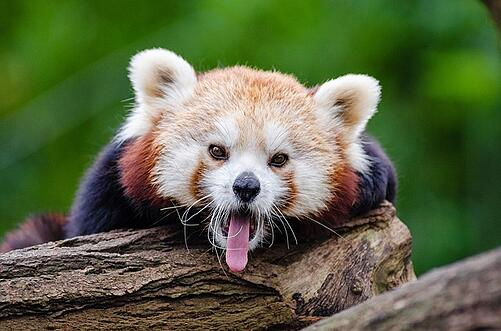 body_red_panda_tongue