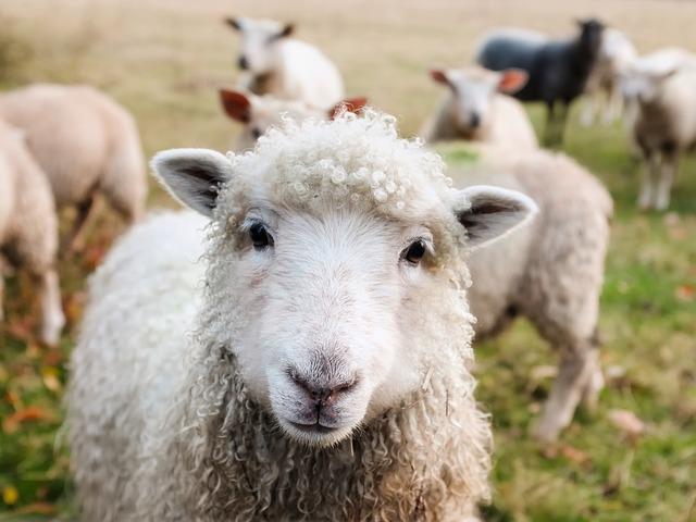 body_sheep