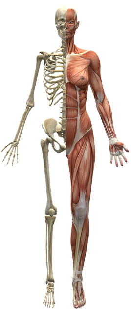 body_skeletonmuscle