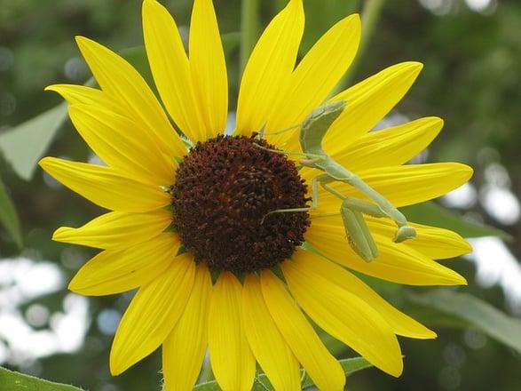 body_sunflower-1
