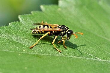 body_wasp