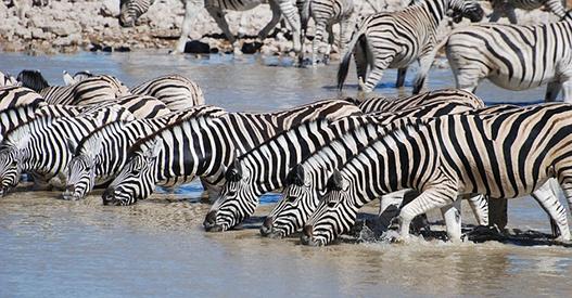 body_zebras-1.jpg