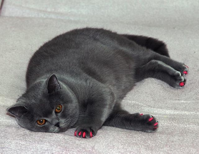 british-cat-1052933_640.jpg