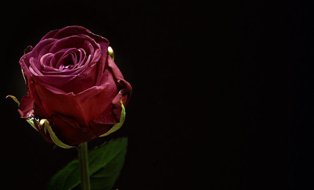 burgundyrose.jpg