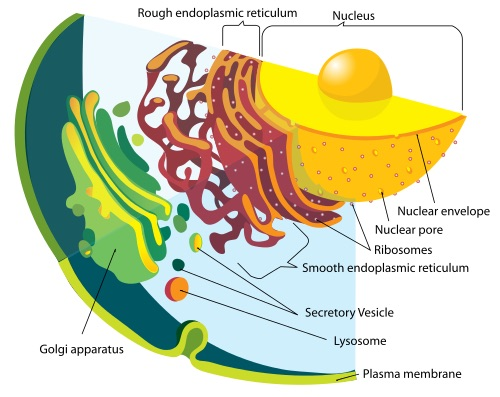 feature-endomembrane-cell