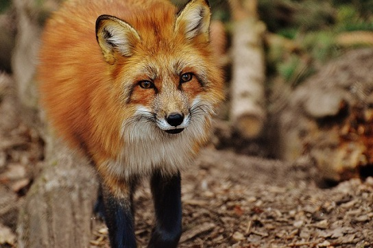 feature_fox.jpg
