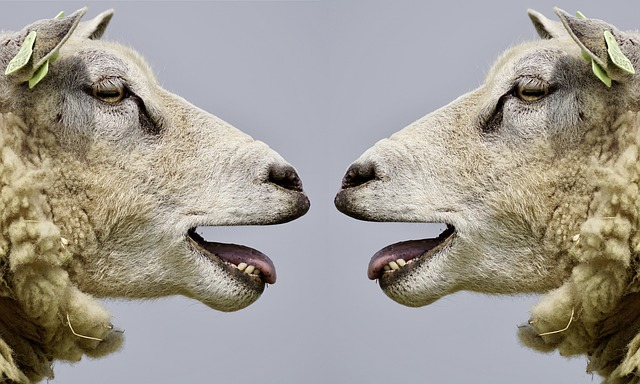 feature_sheep_communicating