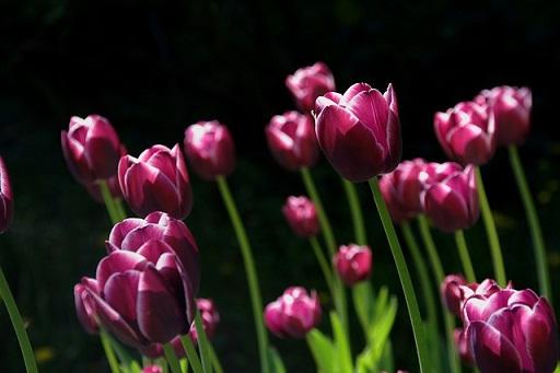 feature_tulips.jpg