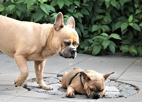 french-bulldog-4347166_1920