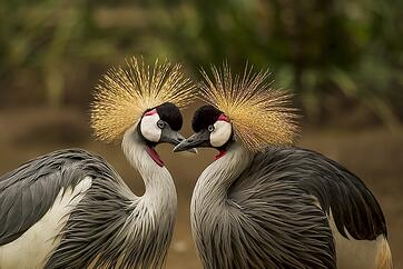 grey-crowned-crane-540657_640.jpg