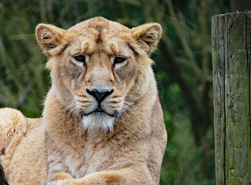 lioness-1582931_1920.jpg