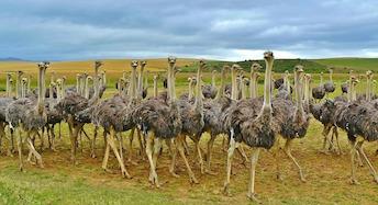 ostriches-838976_1280.jpg