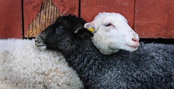 sheeps.jpg