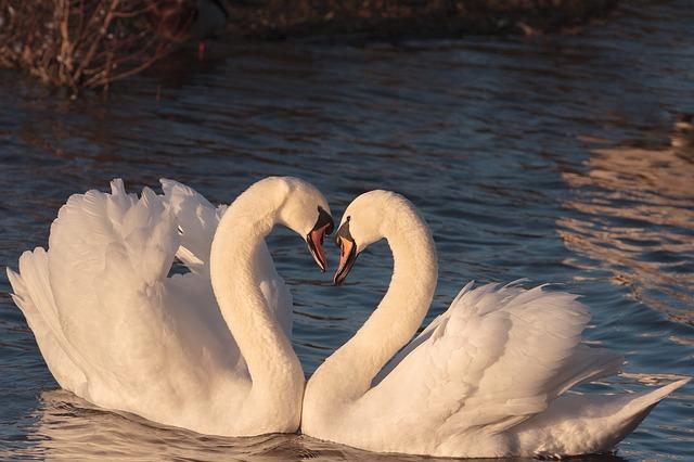 swans-2116649_640.jpg