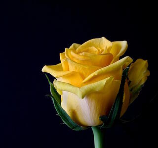 11 rose color meanings to help you pick the perfect bouquet the yellow rose has experienced a significant shift in meaning over time in the victorian era the yellow rose signified jealousy and accused the recipient mightylinksfo