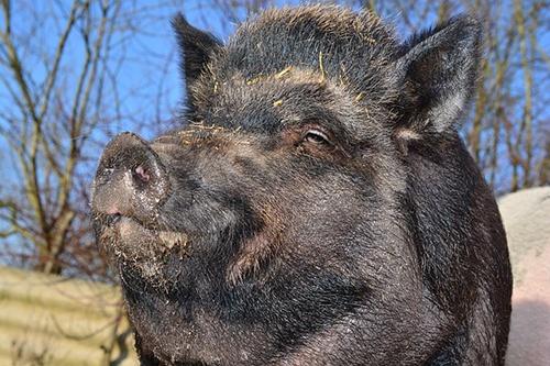 body_boar.jpg