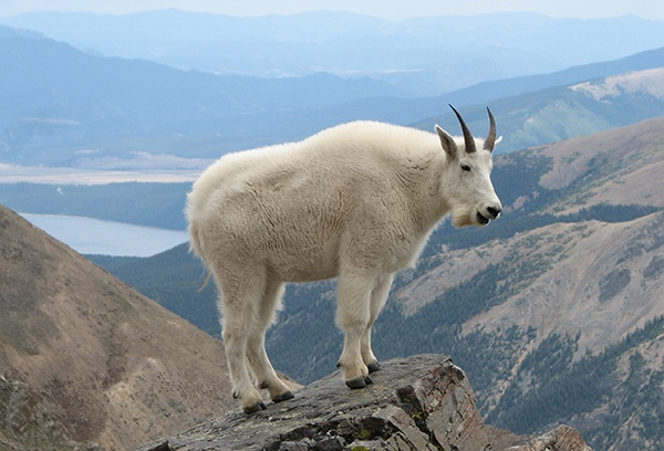 body_mountaingoat.jpg
