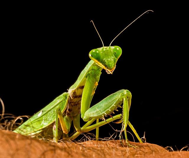 What Is A Praying Mantis 9 Fun Facts