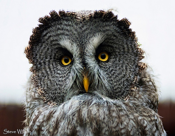 body_spruceowl
